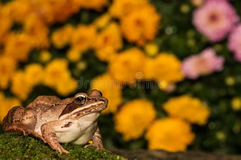 Hölzerner Frosch stockfotos