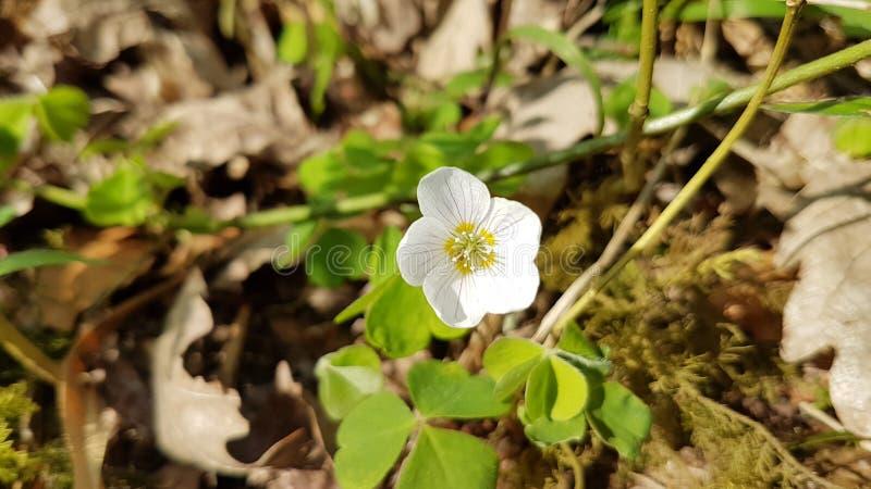 Hölzerner Sorrel Flower lizenzfreies stockbild