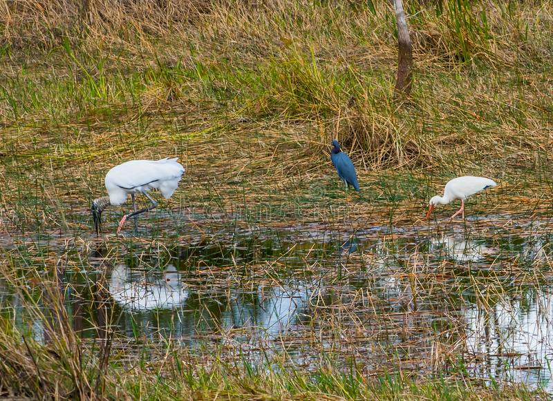 Hölzerner Storch und ein Blaureiher und ein IBIS stockbilder