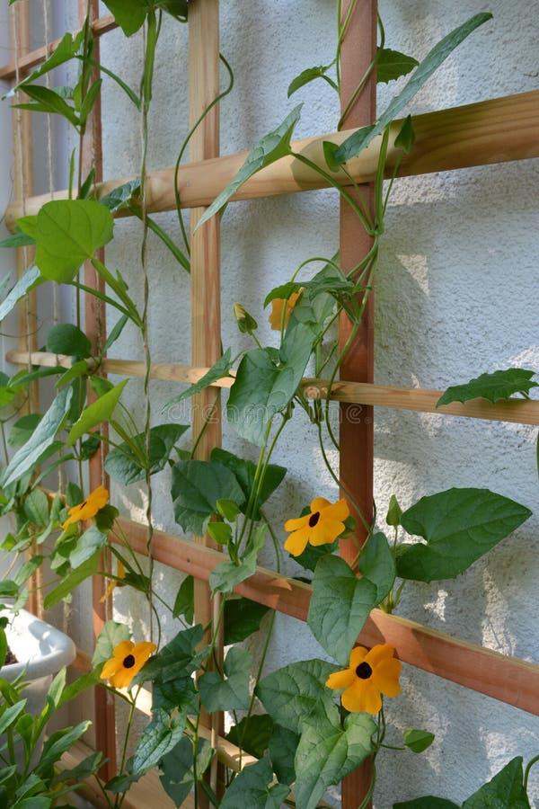 Hölzernes Gitter für Kletterpflanzen mit blühendem Thunbergia Helle orange Blumen stockfotografie