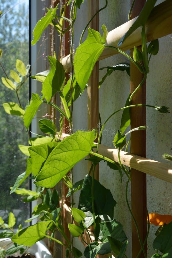 Hölzernes Gitter für Kletterpflanzen mit Grünblättern und orange Blumen von Thunbergia stockfotografie