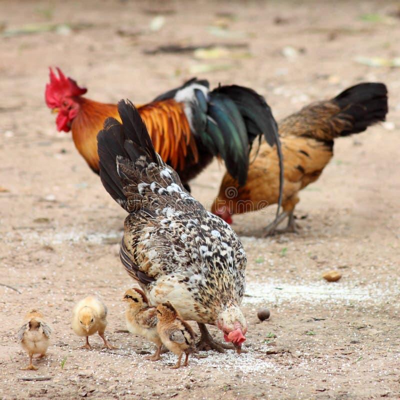 Höna familj, höna, fågelunge royaltyfri fotografi