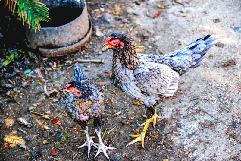 Höna med fågelungen fotografering för bildbyråer
