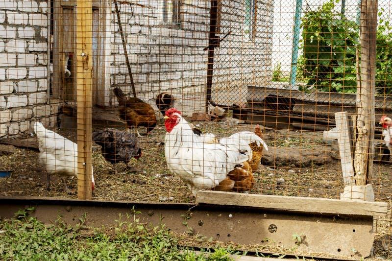 Hönor och en tupp i en feg coop på en lantgård Denna lantliga livplats på en lantgård hönorna och en tuppjakt för avmaskar arkivfoto