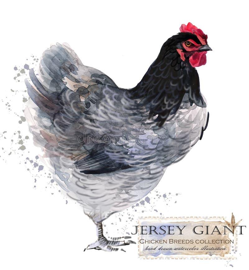 Hönslantbruk Höna föder upp serie inhemsk lantgårdfågel vektor illustrationer