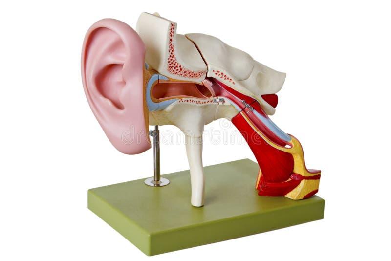 Hörsel- kanal royaltyfria foton
