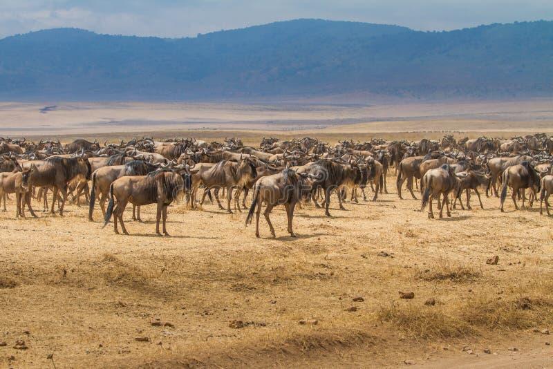 Tusentals wildebeests royaltyfri fotografi
