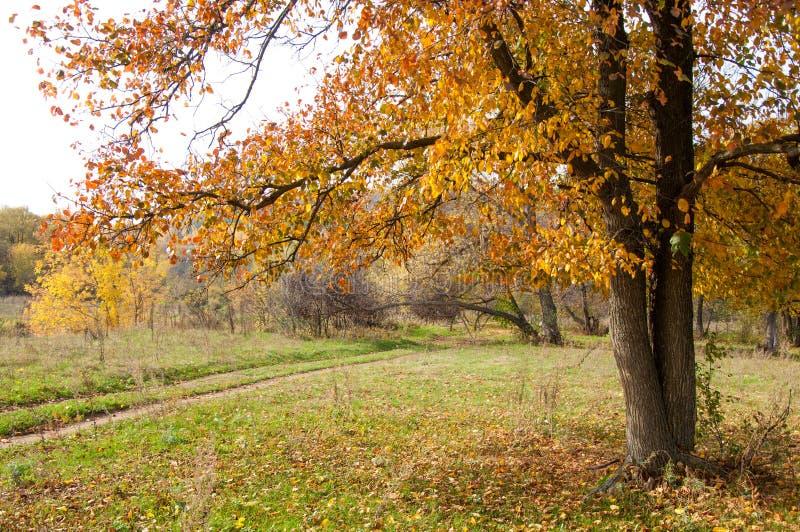 Höst alm med ljusa röda sidor ett högväxt lövfällande träd som t royaltyfri fotografi
