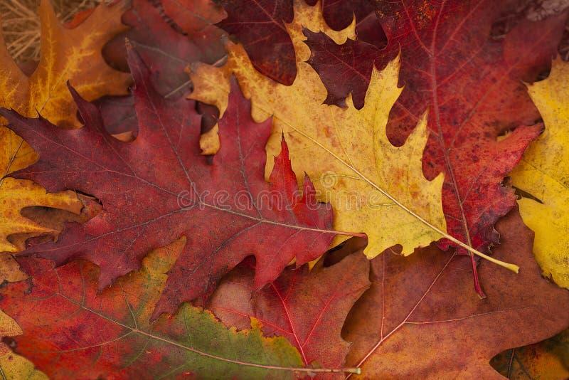 Höst Den färgrika eken lämnar lögn på gräset royaltyfri foto
