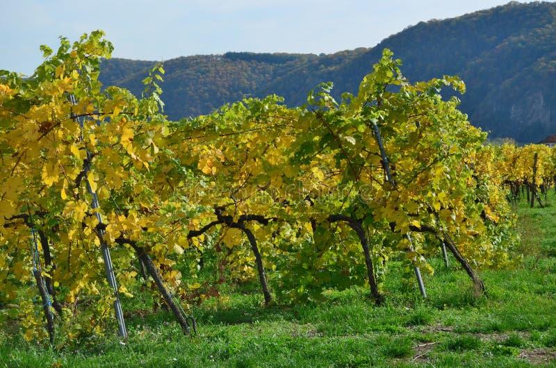 Höst i vingården, lägre Österrike royaltyfria bilder
