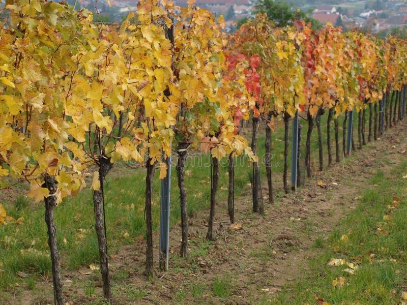 Höst i vingården, lägre Österrike arkivfoto