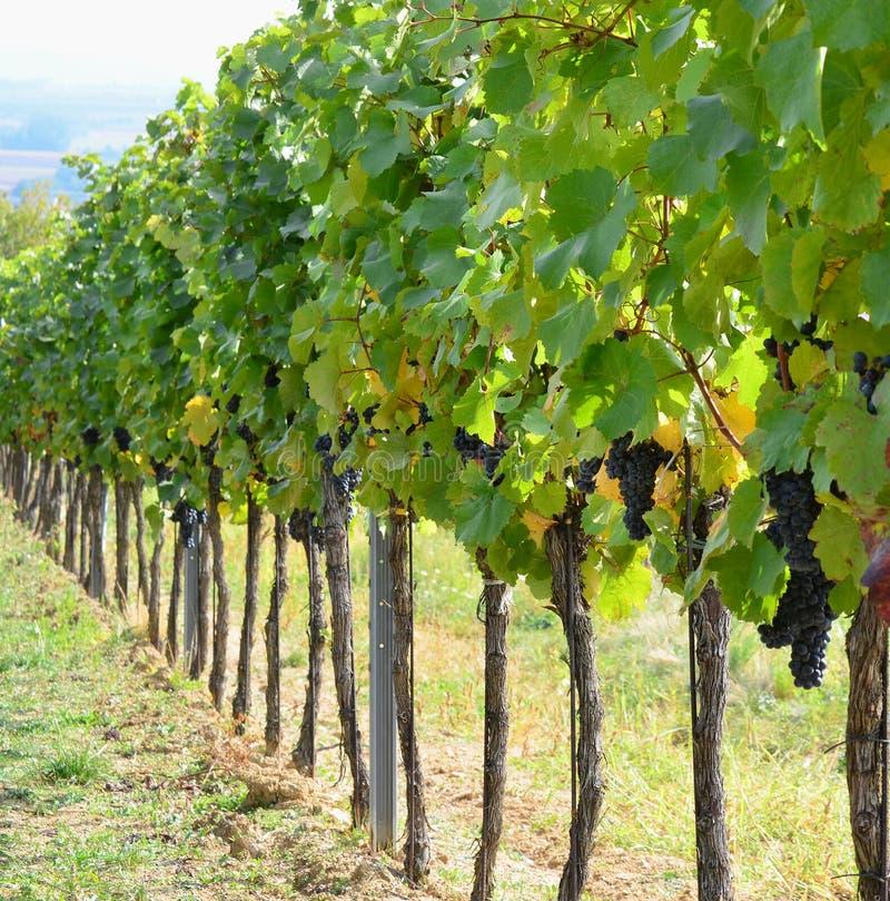 Höst i vingården, lägre Österrike royaltyfri foto