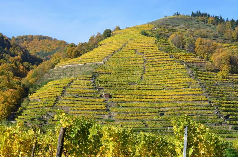 Höst i vingården, lägre Österrike arkivfoton
