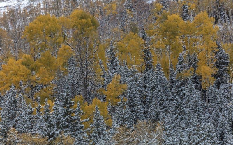 Höst in i vinter - ny snö faller på höstträd förutom royaltyfri bild