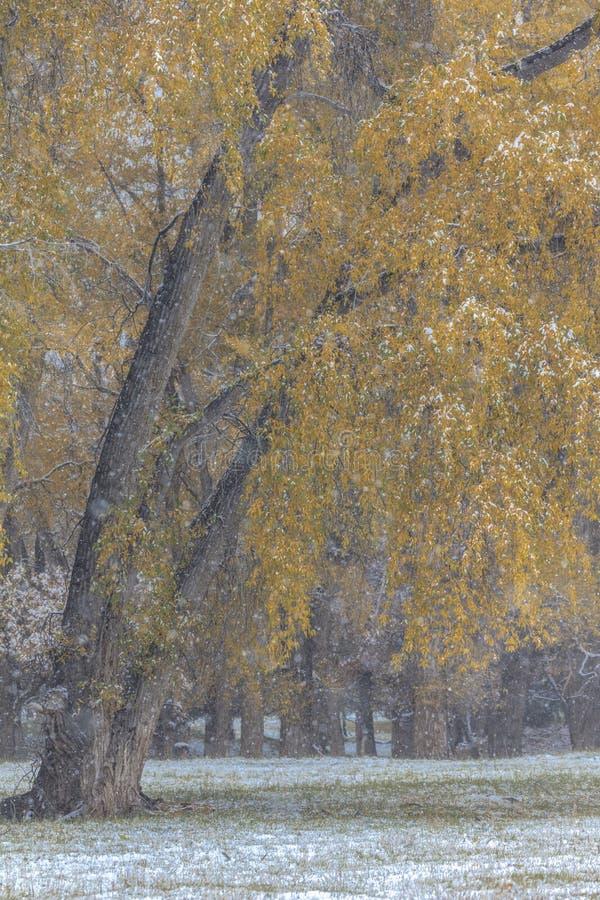 Höst in i vinter - ny snö faller på höstträd förutom fotografering för bildbyråer