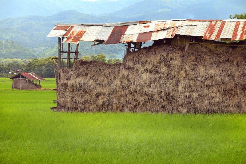 Höstack i lagring på risfält Hög av torrt gult sugrör royaltyfria bilder