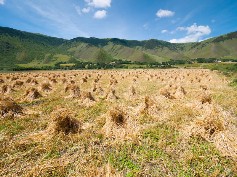 Höstackar i en jordbruksmark royaltyfria bilder