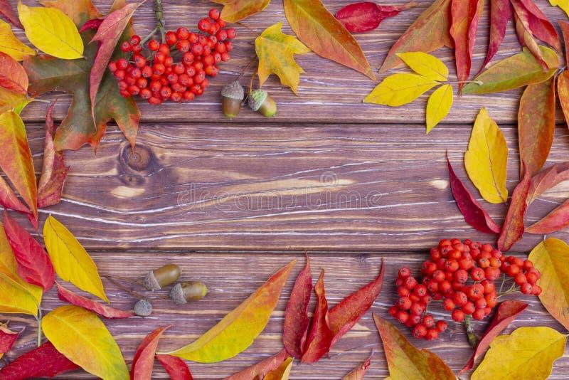 Höstbakgrund med det färgrika aska-trädet och lönnlöv, ekollonar och ashberry Ram av nedg?ngsk?rden med kopieringsutrymme Modell  royaltyfri bild