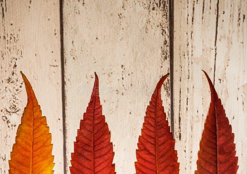höstbakgrundscloseupen colors orange red för murgrönaleaf royaltyfri fotografi