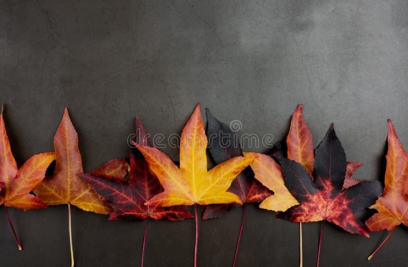 höstbakgrundscloseupen colors orange red för murgrönaleaf GRÄNS AV FÄRGRIKA NEDGÅNGSIDOR MOT MÖRKT B arkivbild