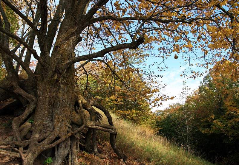 höstbasswoodtree arkivfoton