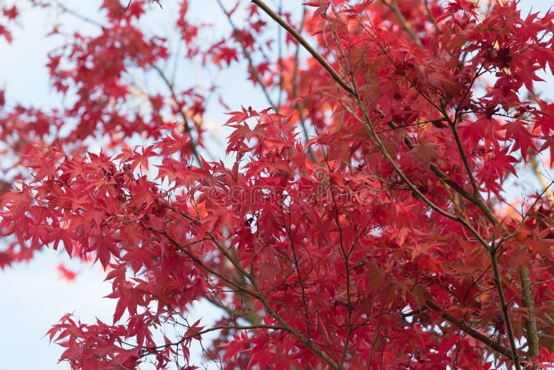 Höstblad i Japan arkivfoto