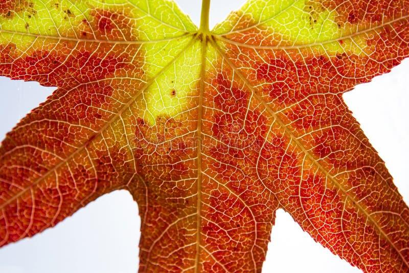 Höstbladdetalj som isoleras i rött och gult arkivfoto