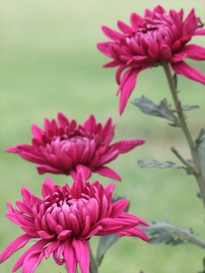 höstchrysanthemum arkivfoton