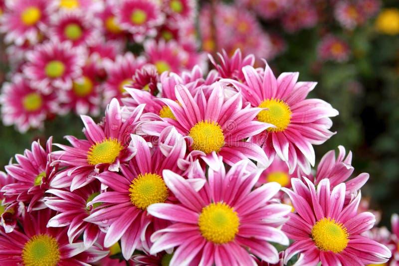 Höstchrysanthemumblommor arkivbilder