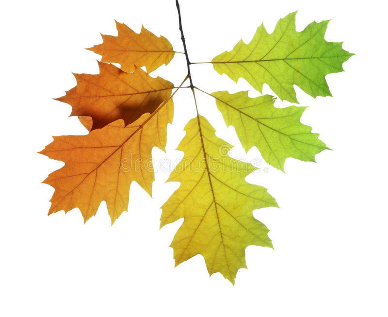 hösten beams treen för sunen för aftonleavesoaken royaltyfria bilder