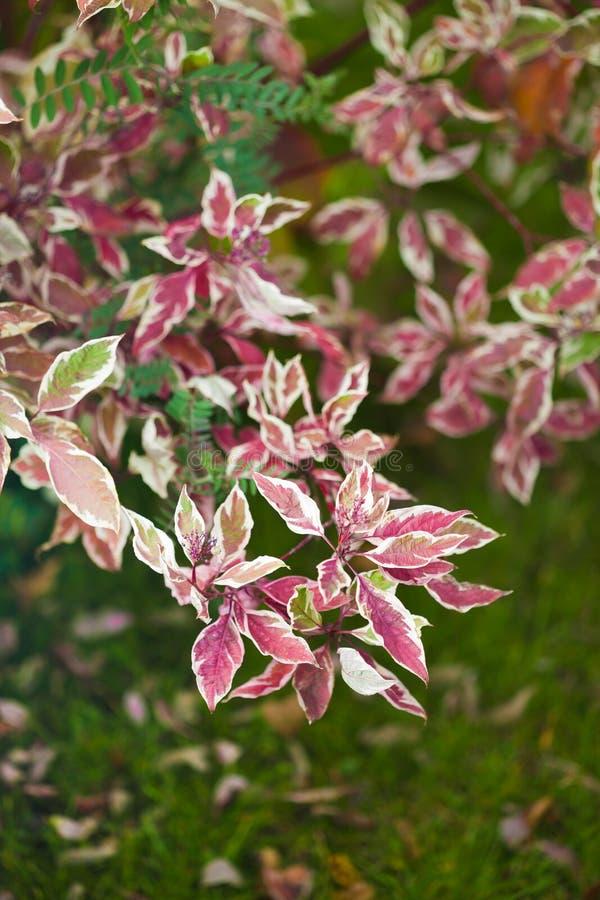hösten dekorerar det home ideala kontoret för detaljer Ensamt härligt höstligt träd och grönt gräs royaltyfria foton