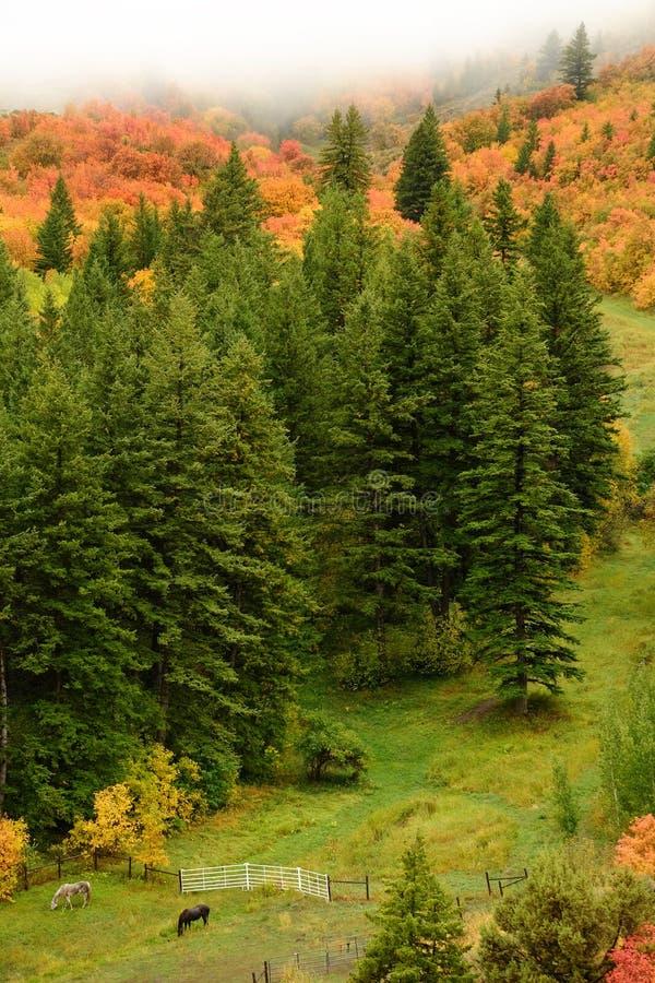 Hösten Fall Maple och Pine Trees Valley med hästar royaltyfria foton