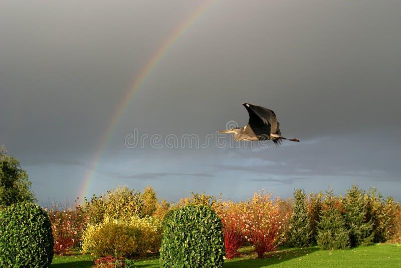 hösten flyger den gråa heronregnbågen till upp royaltyfria bilder