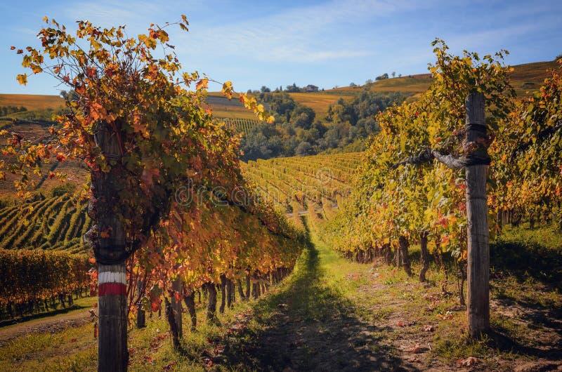 Hösten går efter skörd i de fotvandra banorna mellan raderna och vingårdarna av nebbiolodruvan, i de Barolo Langhe kullarna, fotografering för bildbyråer