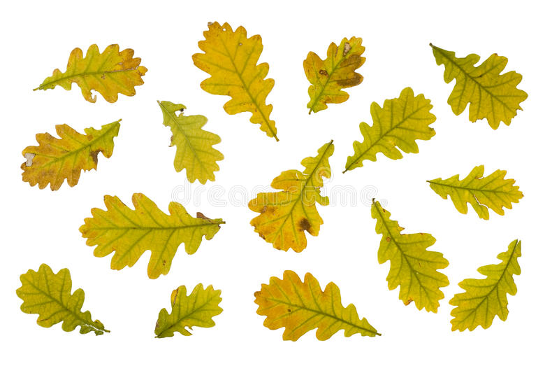 hösten isolerade leavesoakwhite royaltyfria foton