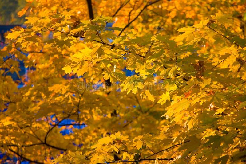 Hösten lämnar bakgrund royaltyfri fotografi