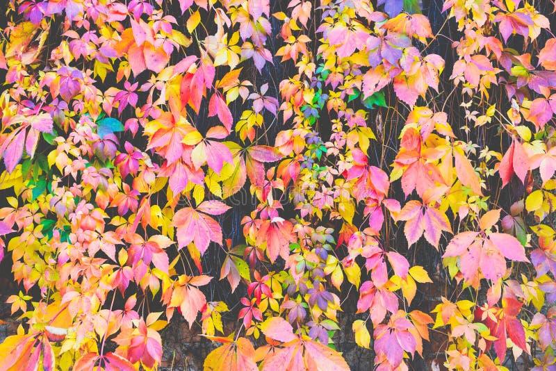Hösten lämnar bakgrund Makroskottet av murgrönan lämnar vändande röd nolla royaltyfri fotografi
