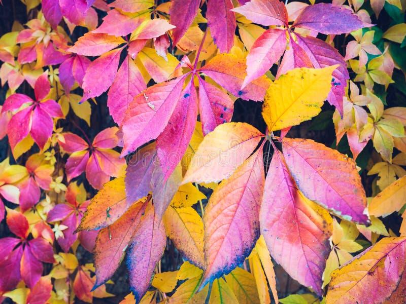 Hösten lämnar bakgrund Makroskottet av murgrönan lämnar vändande röd nolla royaltyfri foto