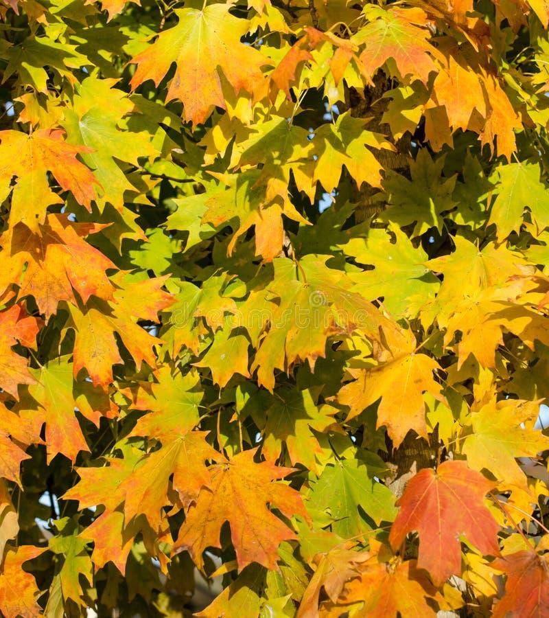 Hösten lämnar Vibrerande apelsin- och gulinghöstlönnlöv royaltyfri fotografi