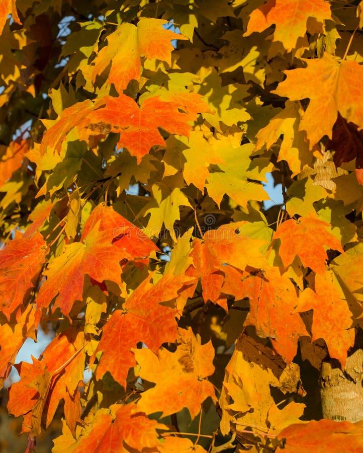 Hösten lämnar Vibrerande apelsin och röda och gula höstlönnlöv royaltyfri foto