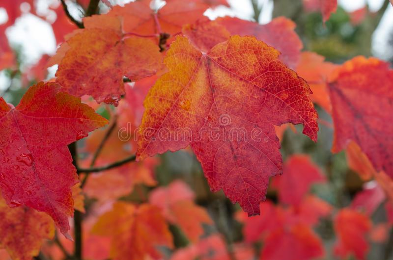 Hösten lämnar Vibrerande apelsin och röda höstlönnlöv arkivfoton