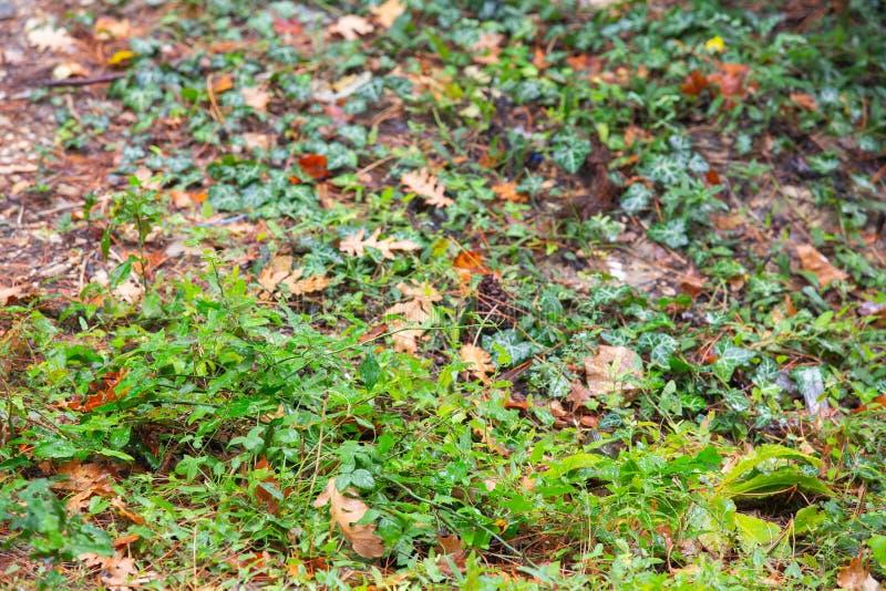 Hösten landskap höstbakgrundscloseupen colors orange red för murgrönaleaf Fallen oakleaf , begränsade abstrakta naturliga bakgrun royaltyfri foto