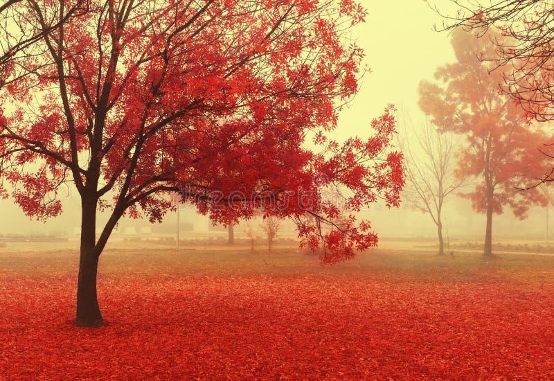 Hösten landskap Röd hösttree i parken dimmig morgon för höst Magiskt felikt rött träd royaltyfria bilder