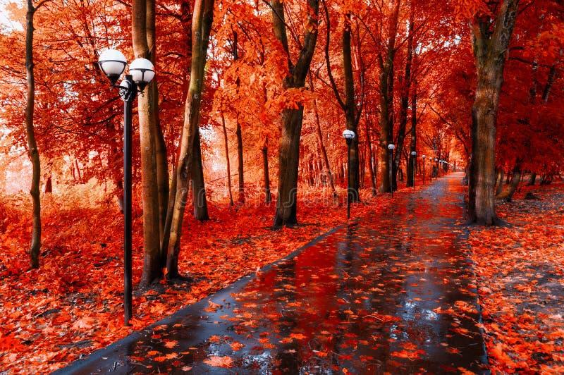 Hösten landskap Röda höstträd och stupade höstsidor på den våta vandringsledet parkerar in gränden efter regn arkivbilder