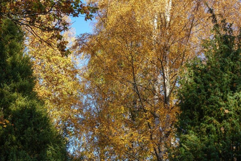 Hösten landskap Stora björkträd med gula sidor i nedgång royaltyfri foto