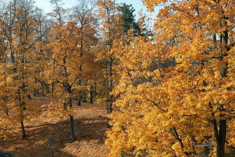 Hösten parkerar med gula träd i Cesis, Lettland royaltyfri fotografi
