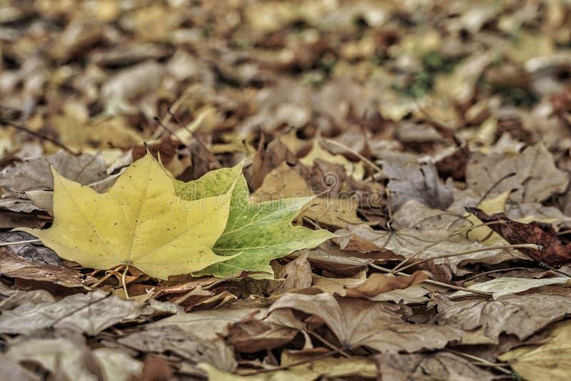 hösten torkade leaves royaltyfri bild