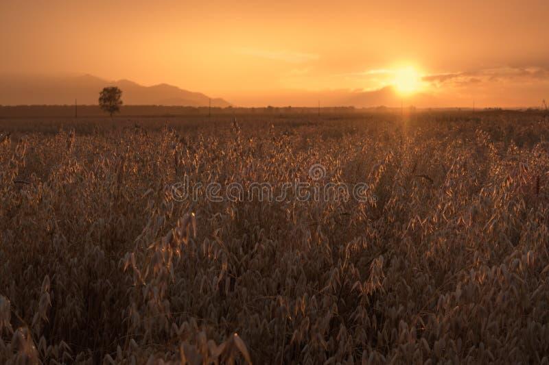 Höstfält av havre på den molniga orange himmelbakgrunden för solnedgång arkivfoton