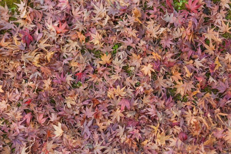 Höstfärgändring är säsongen som är färgrik, med röda och gula sidasuppleanter, härlig naturmoutainbakgrund i Eikando vikarier arkivbild