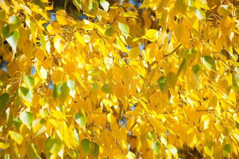 Download Höstgulingsidor fotografering för bildbyråer. Bild av yellow - 37348227